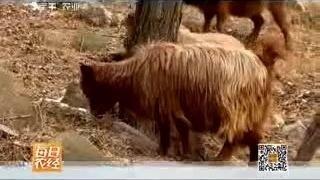 农民山里承包千亩荒地,创业养殖新品种红毛山羊