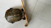 我家小宠巴西龟,是一个跨越障碍的运动健将