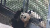 大熊猫胖大海 大熊猫萌兰 大海与么么7(旧库存)