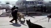 狗斗 藏獒VS高加索犬
