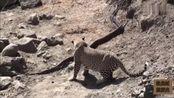 动物世界:豹子袭击蟒蛇,怕实力不够未尽全力捕杀