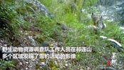 果然视频 祁连山境内拍到4只雪豹同时漫步