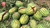 2000个瓜一夜全被砍烂损失数万 瓜农:想不出谁干出这样的事
