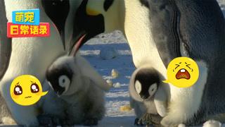 【萌宠日常语录】看企鹅妈妈如何教育熊孩子