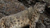罕见的野生雪豹被拍到 看它在山坡上捕猎连滚带爬尘土飞扬