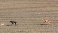 三只猎狗追兔子 兔子神走位 急转弯漂移亮了